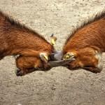 goats-173940_640